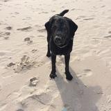 Jasper (Labrador Retriever)