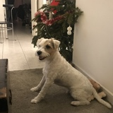 Millow (Parson Russell Terrier)