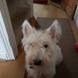 Ghost (West Highland White Terrier)