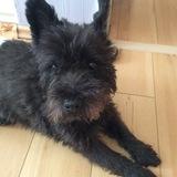 Tim (Cairn Terrier)