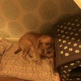 Charlie (Labrador Retriever)