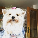 Fayna (Yorkshire Terrier)