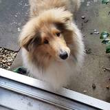 Bucky (Rough Collie)