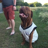 Chon (French Mastiff)