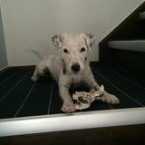 Milou (Parson Russell Terrier)