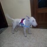 Narco (Bull Terrier)