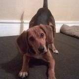 Scrappy (Beagle)