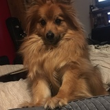 Hayes (German Spitz)