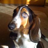 Lola (Basset Hound)