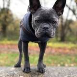 Yianni (French Bulldog)