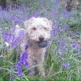 Jack (Lakeland Terrier)