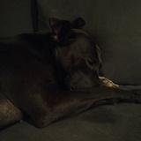 Coco - Staffordshire Bull Terrier