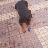 Duque (Rottweiler)