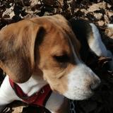 Sherlock (Beagle)