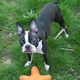 Zola - Boston Terrier