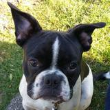 Tyson (Französische Bulldogge)