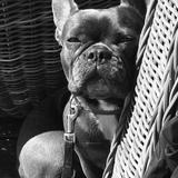Rosa (Französische Bulldogge)
