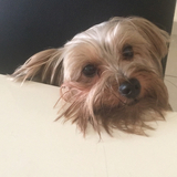Blacky  (Yorkshire Terrier)
