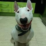 Wifi (Bull Terrier)