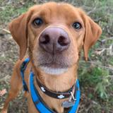 Toby (Bretonischer Vorstehhund)