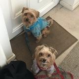 Levi (Yorkshire Terrier)