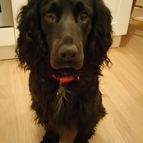 Wilfie (English Springer Spaniel)
