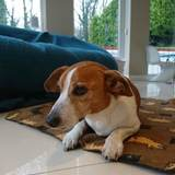Tresco (Jack Russell Terrier)