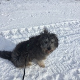 Watson  (Bearded Collie)