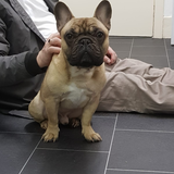 Winston (French Bulldog)
