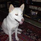 Toshi (Shiba Inu)