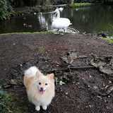 Peach (German Spitz)
