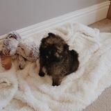 Halo (Pomeranian)