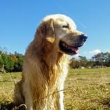 Alex (Golden Retriever)