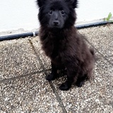 Shadow  (Spitz Allemand)