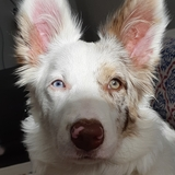 Kira (Border Collie)