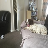 Oscar (English Springer Spaniel)