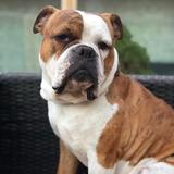 Bodhi (English Bulldog)