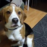 LAGUN - Beagle