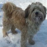 Charly (Tibet Terrier)