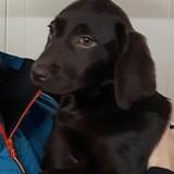 Nina - Labrador Retriever
