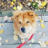 Kelly (Chow Chow)