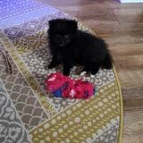 Lola Dee (Pomeranian)