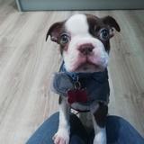 Peanut - Boston Terrier