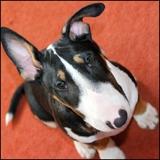 Sparta  (Bull Terrier)