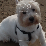 Buster (West Highland White Terrier)
