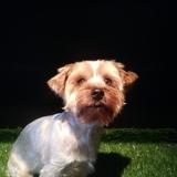 Poppy (Yorkshire Terrier)