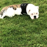 Bertie (English Bulldog)