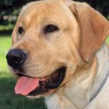 Lalou (Labrador Retriever)