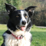 Maisie (Border Collie)