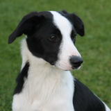 Bessie (Border Collie)